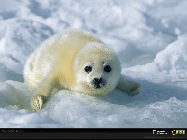 national-geographic-baby-harp-seal-kids_1600x1200_94491