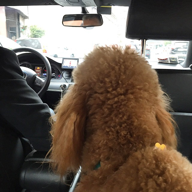 A whisky piace guidare! #uberwhisky #whisky #poodle #lovely #dog #sweet…
